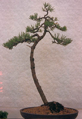 Literati bonsai eejit for Literati bonsai gallery