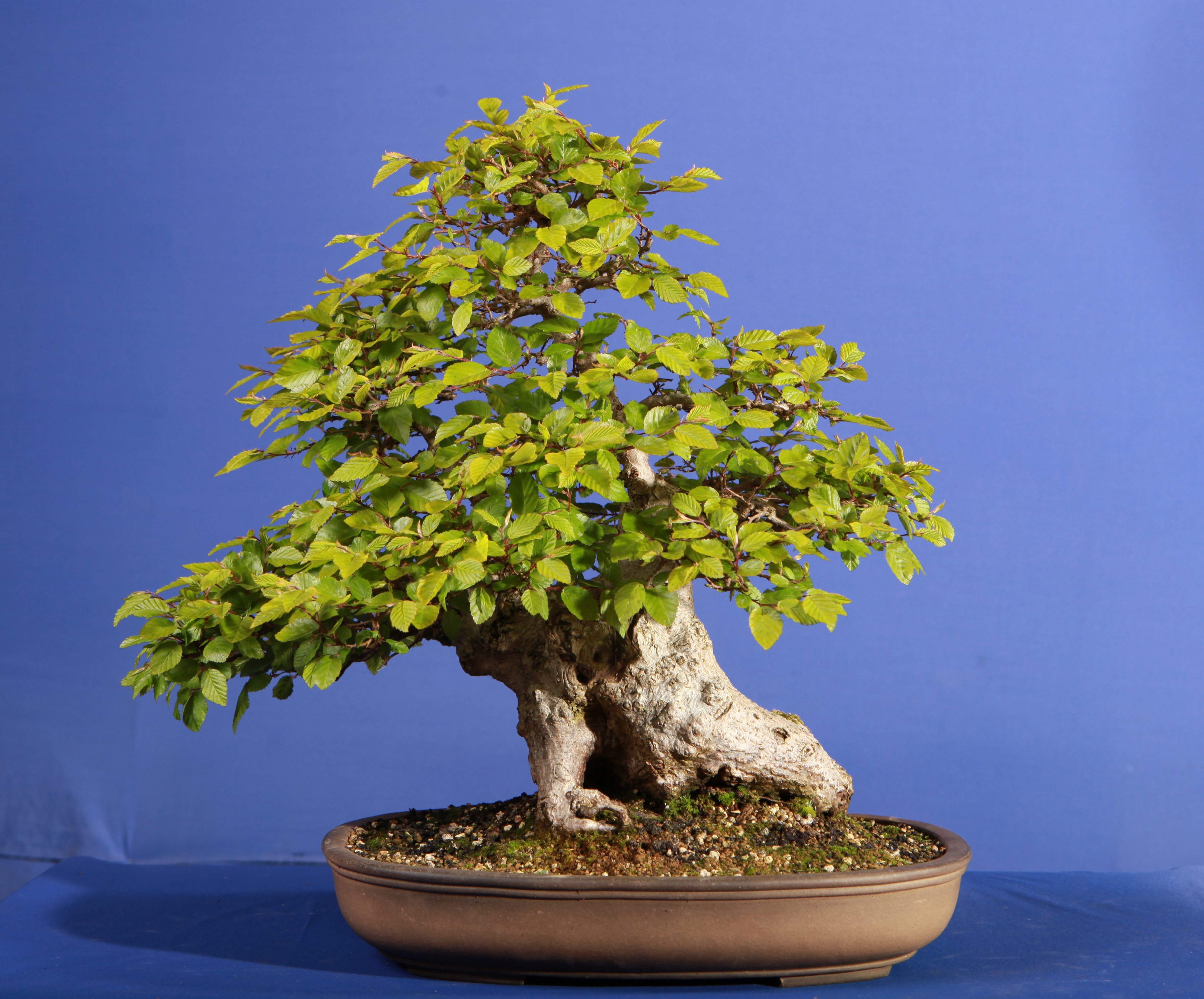 Korean Hornbeam Bonsai Eejit