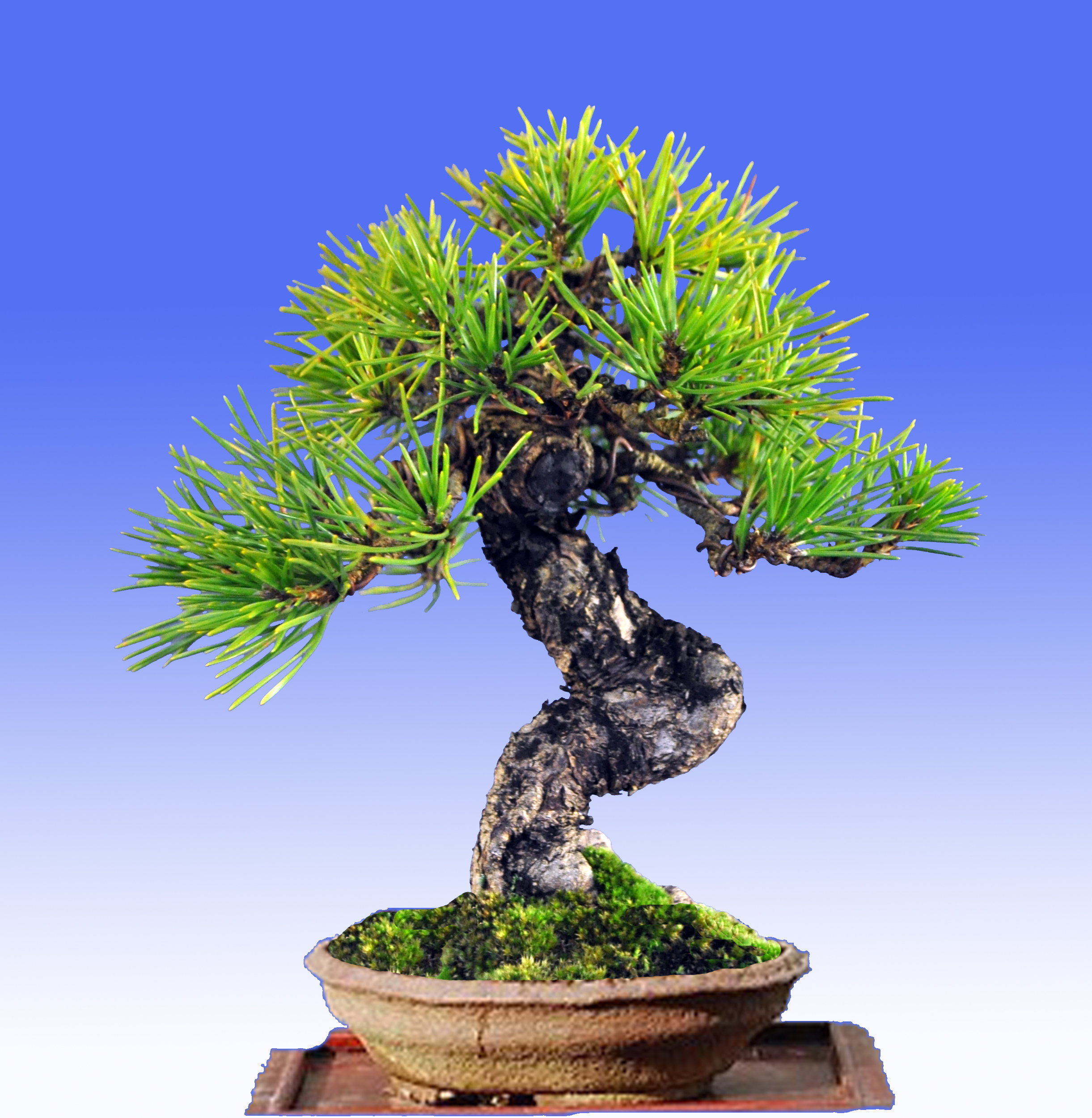 Japanese Black Pine Bonsai Eejit Wiring Yew None