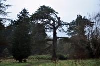 big ole cedar