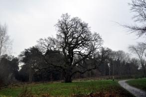 A fantastic old Oak