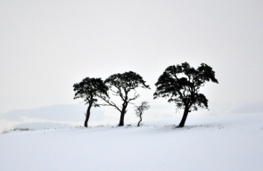 3 great pine images