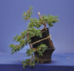 Piotr's Juniper before repotting