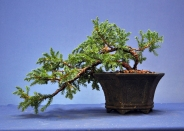 Piotr's Juniper potted