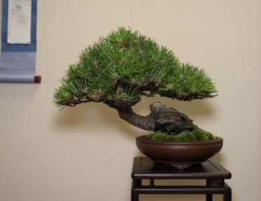 BCI Award - Martin Shepherd- Black Pine_IMG_2608