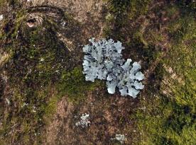 Lichen on a Birch
