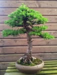 A larch bought from me long ago!