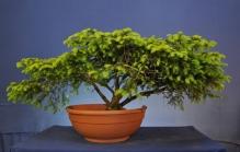 Ben's raw Spruce