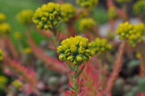 Loved this sedum in the garden too