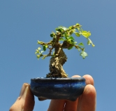 Tiny Musk Maple