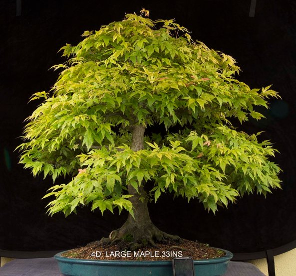 4d.LARGE jAPANESE MAPLE.