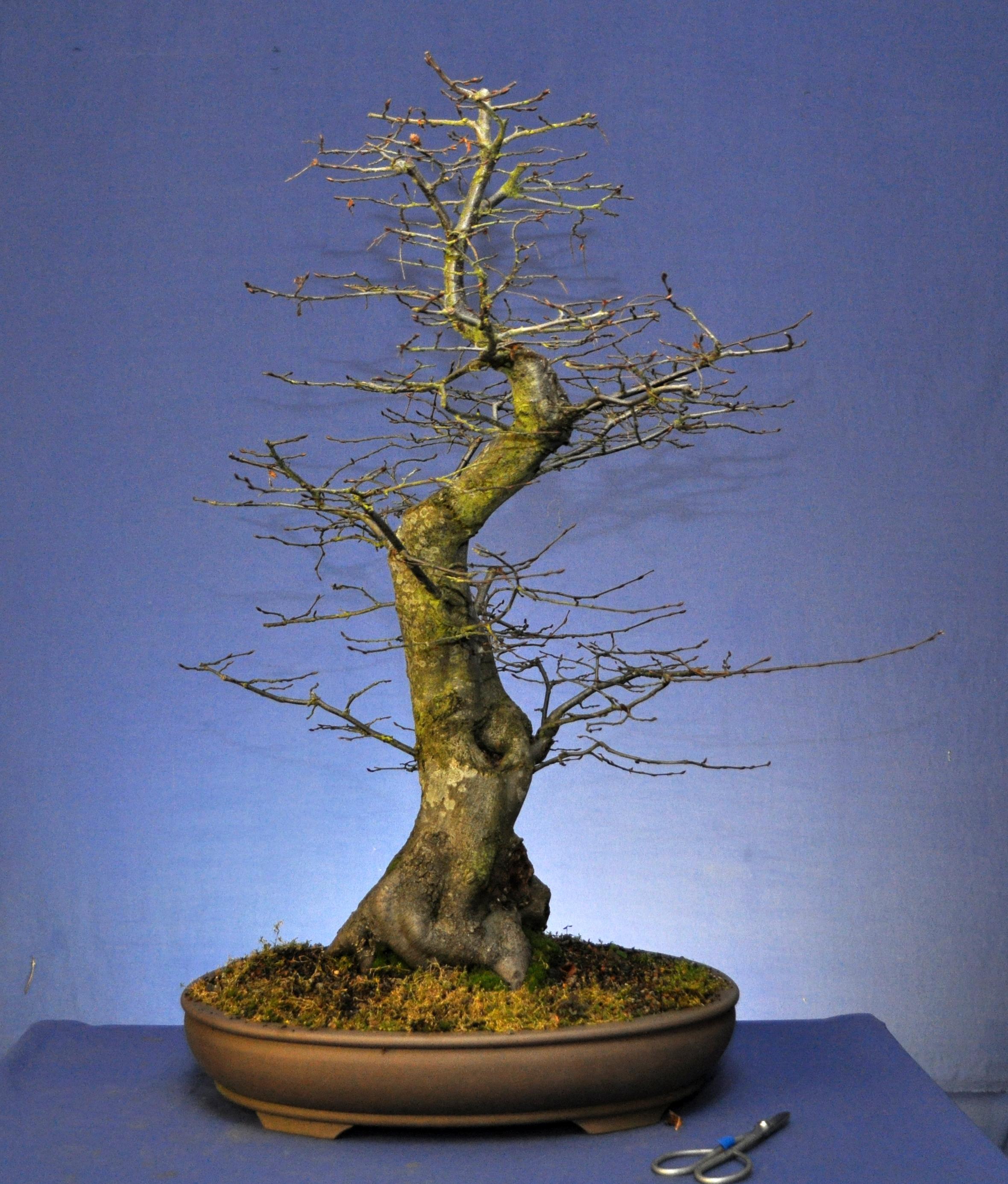 hornbeam bonsai eejit rh bonsaieejit com Kinds of Trees Deciduous Trees Deciduous Trees