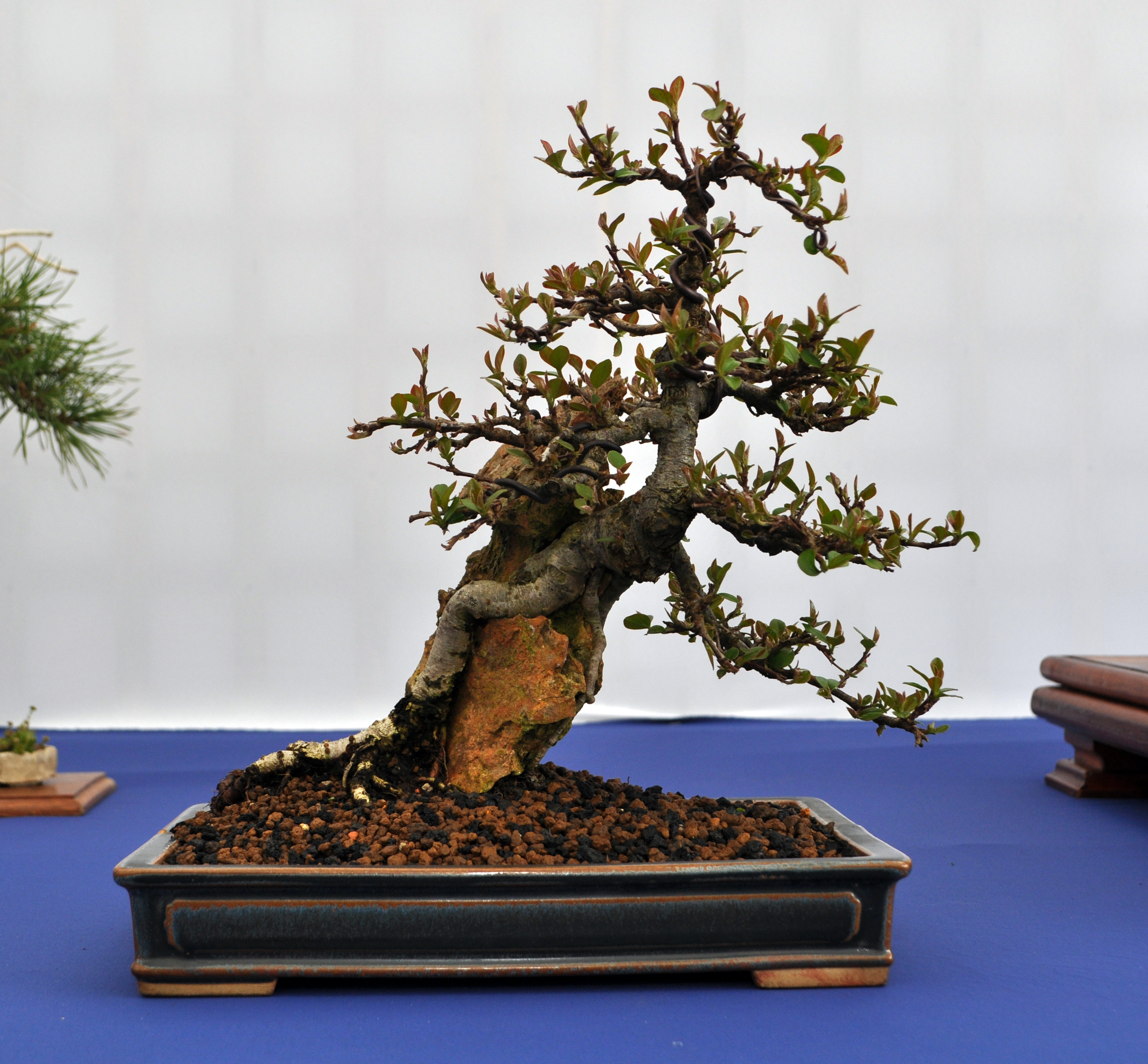 Root Over Rock Cotoneaster In 2013 Bonsai Eejit