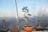 Scots pine from Germany