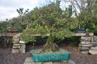 big chinese elm