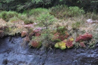 little spruce growing out of the peat bog