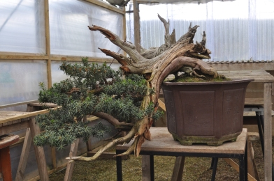 The big yew from the Ryan Neil demo