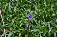 First Bluebells