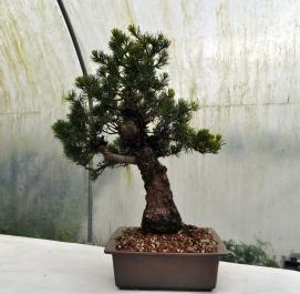 Mark's White Pine