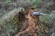Stump deadwood