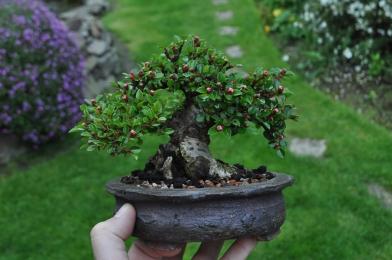 Sumo Cotoneaster
