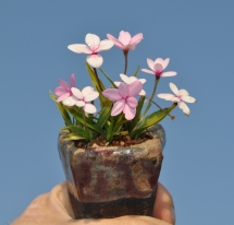 Rhodohypoxis Sp.