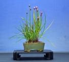 Allium Marei Amabile