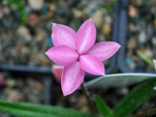 Rhodohypoxis 'Badger'
