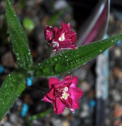 Rhodohypoxis 'Kiwi Joy'