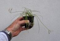 Allium ?