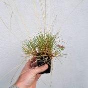 Blue Grass sp?