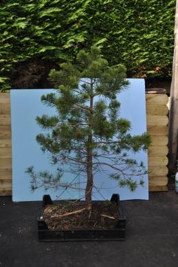 Ray raw Pine