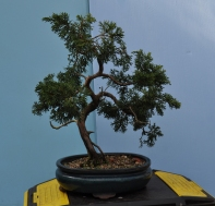 Piotr's Juniper before