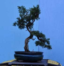Piotr's Juniper after, top to be removed in stages