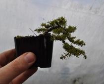 Piotr's mame juniper