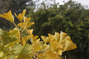 LEAVES GINKGO