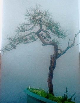 Scots Pine 2001