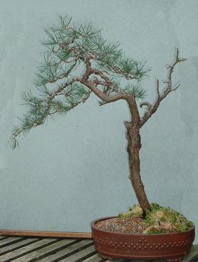 Scots pine 6 Mar 2002