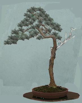 Scots pine virtual
