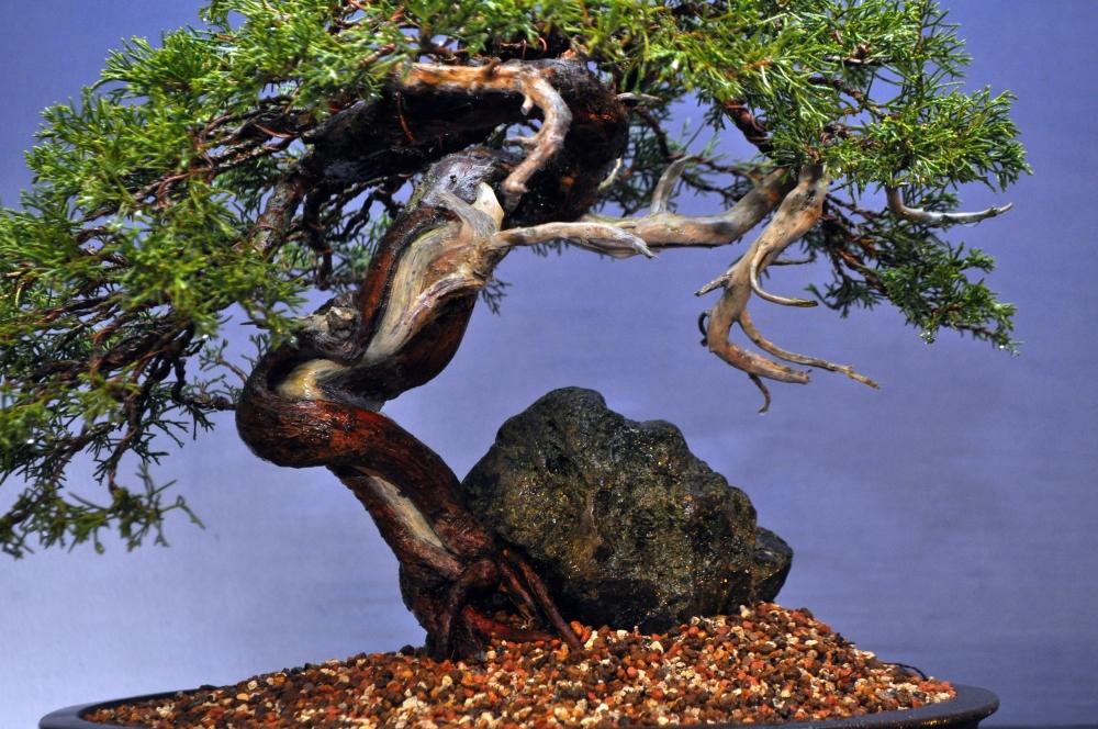 Root Over Rock Itiogawa Juniper (4/4)