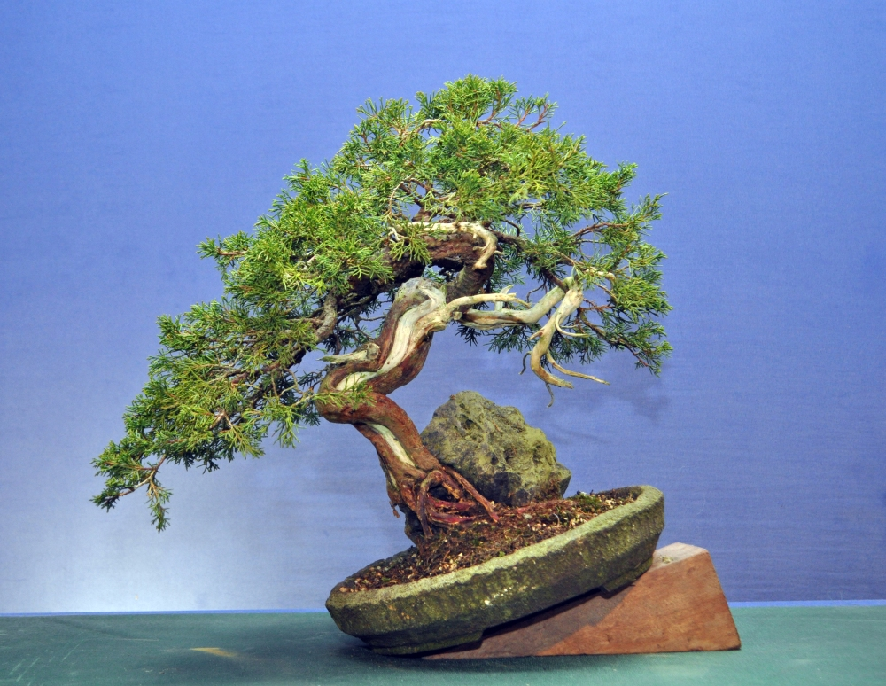 Root Over Rock Itiogawa Juniper (1/4)