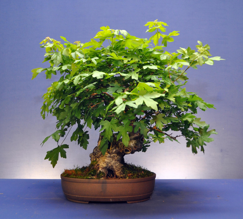 Field Maple Bonsai Eejit Wiring Dsc 0331