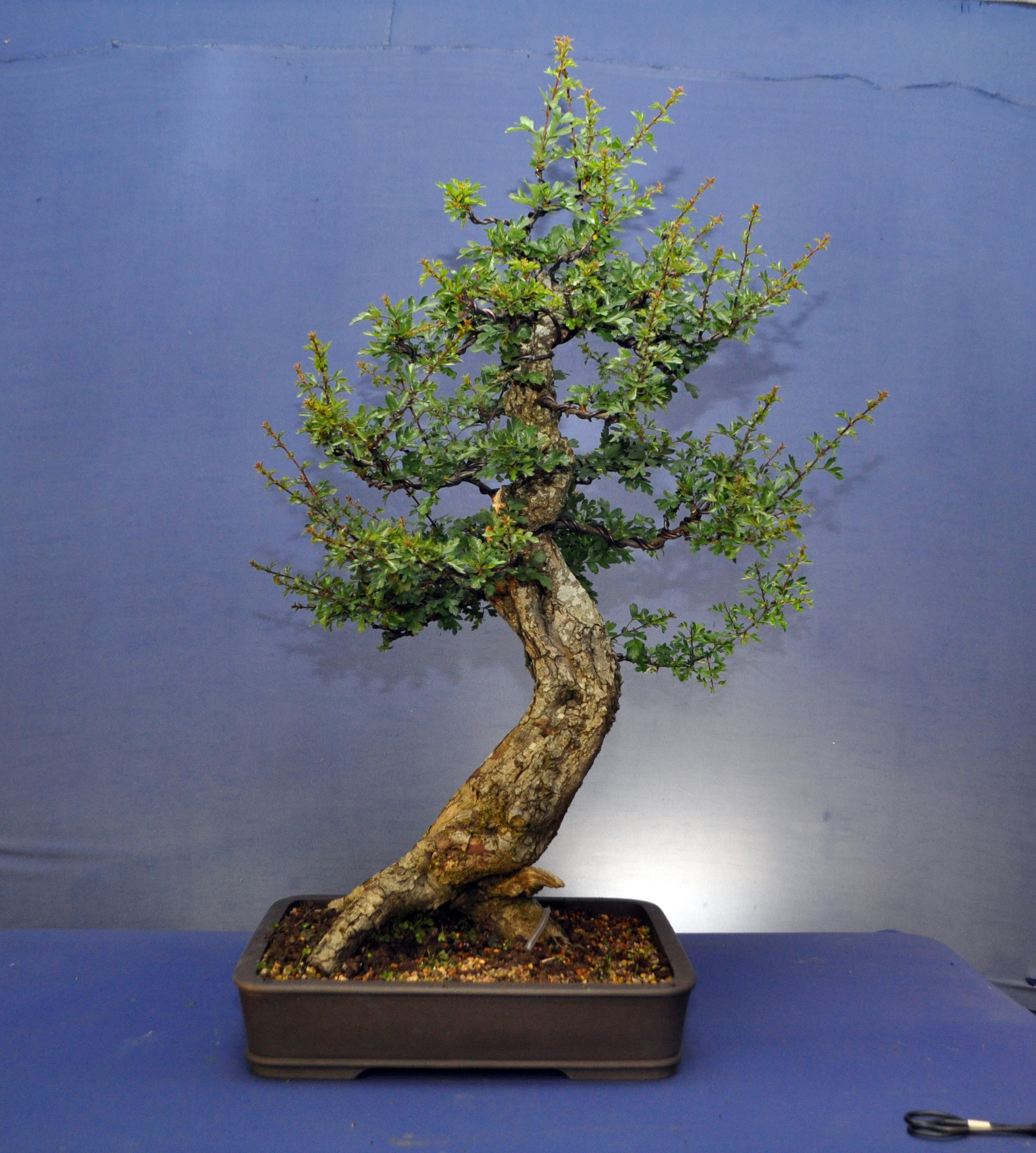 Hawthorn Extension Trim Bonsai Eejit Wiring Branches Wire Will Need Checked Weekly Or Ill Run The Risk Of Scarring Be Able To Rewire New Growth In Autumn And Continue Do This For Next 5 10