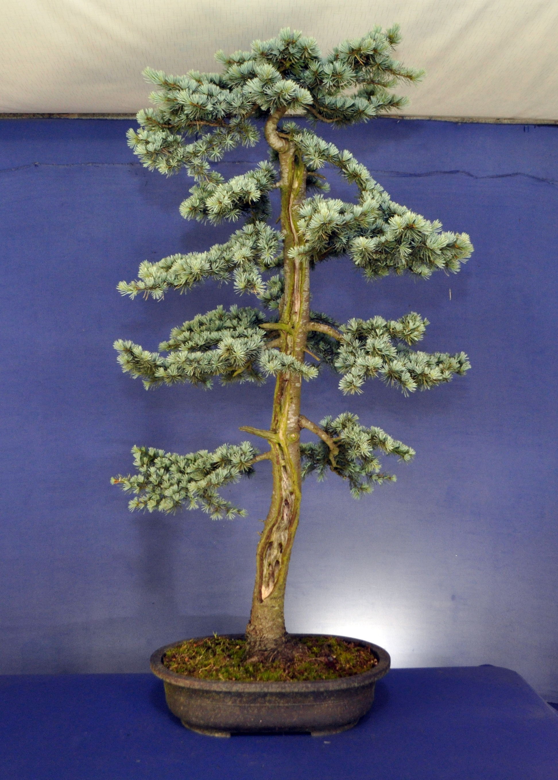 Remarkable Cedar Bonsai Eejit Wiring Digital Resources Funapmognl