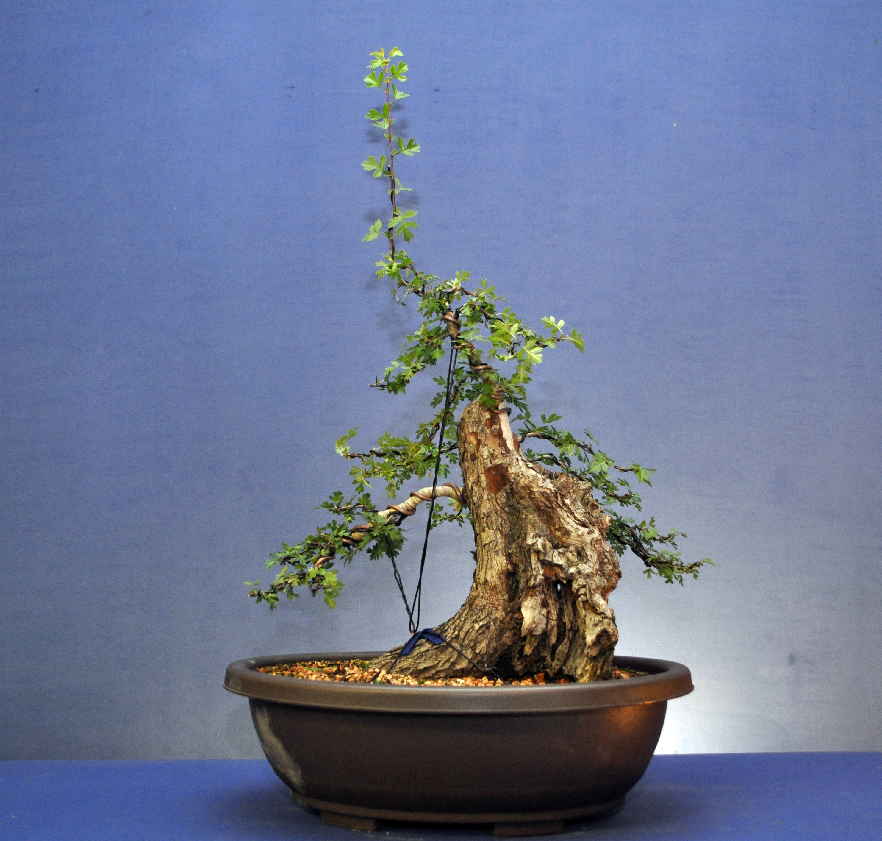 how to grow a hawthorn bonsai tree