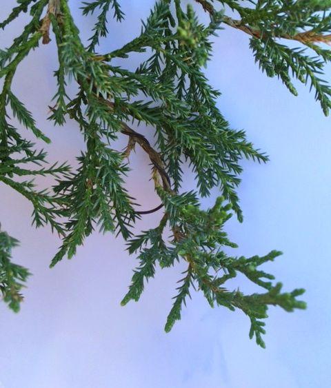 juniperfoliage