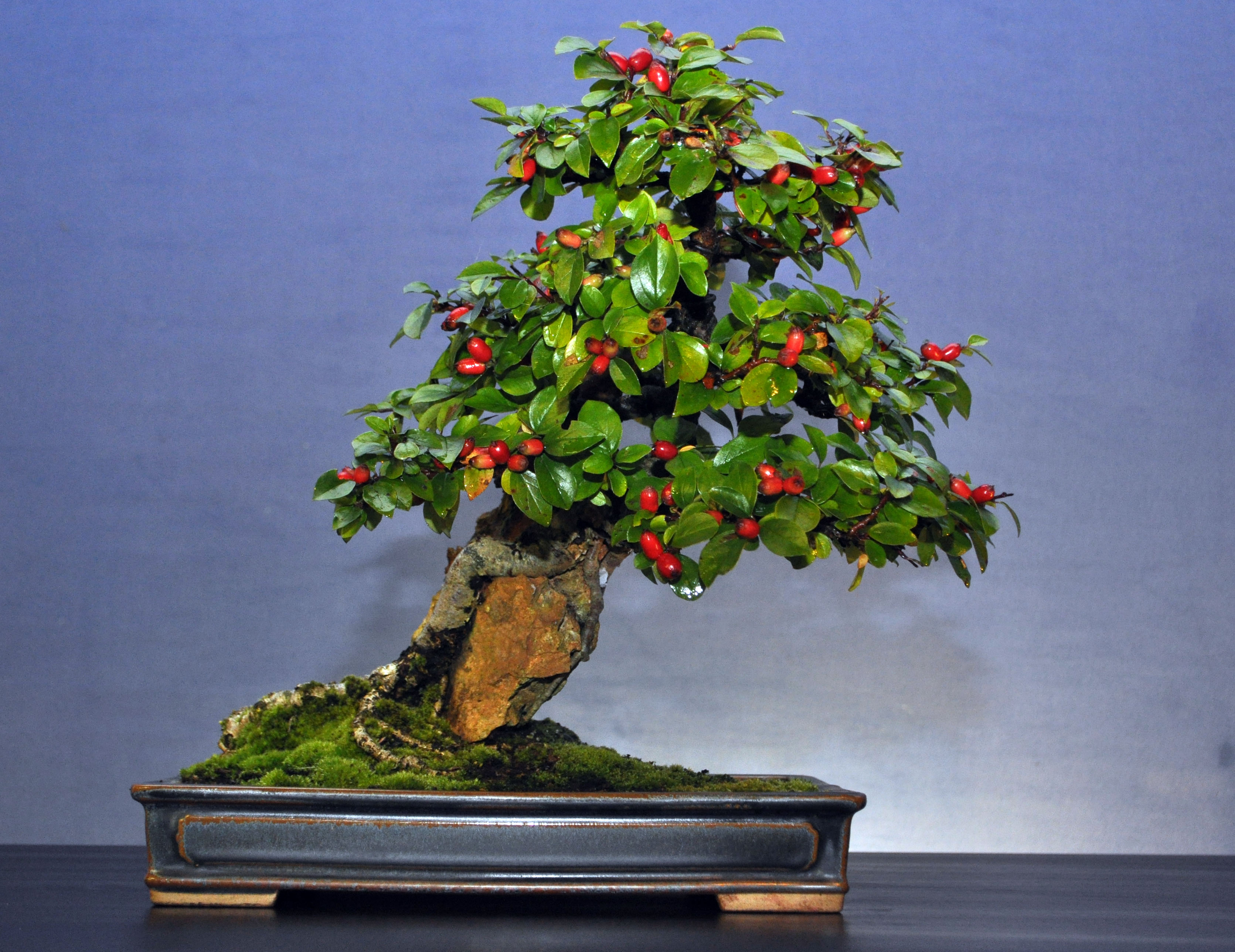 how to make a cotoneaster bonsai